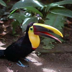 Random Toucan at an animal sanctuary, Costa Rica