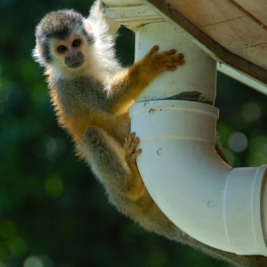 A monkey climbing up a drainpipe in Costa Rica