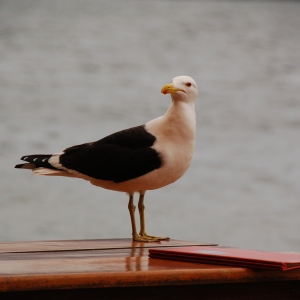 A Brazilian seagull ready to place his order, in Florianopolis, Brazil