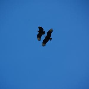 Buzzards in Chile