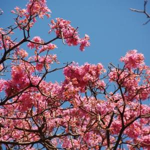 Cherry blossoms... I think?