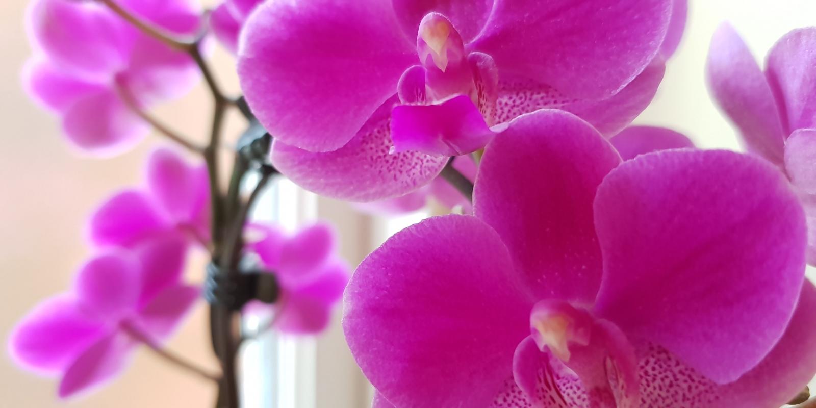 Flowering purple orchid