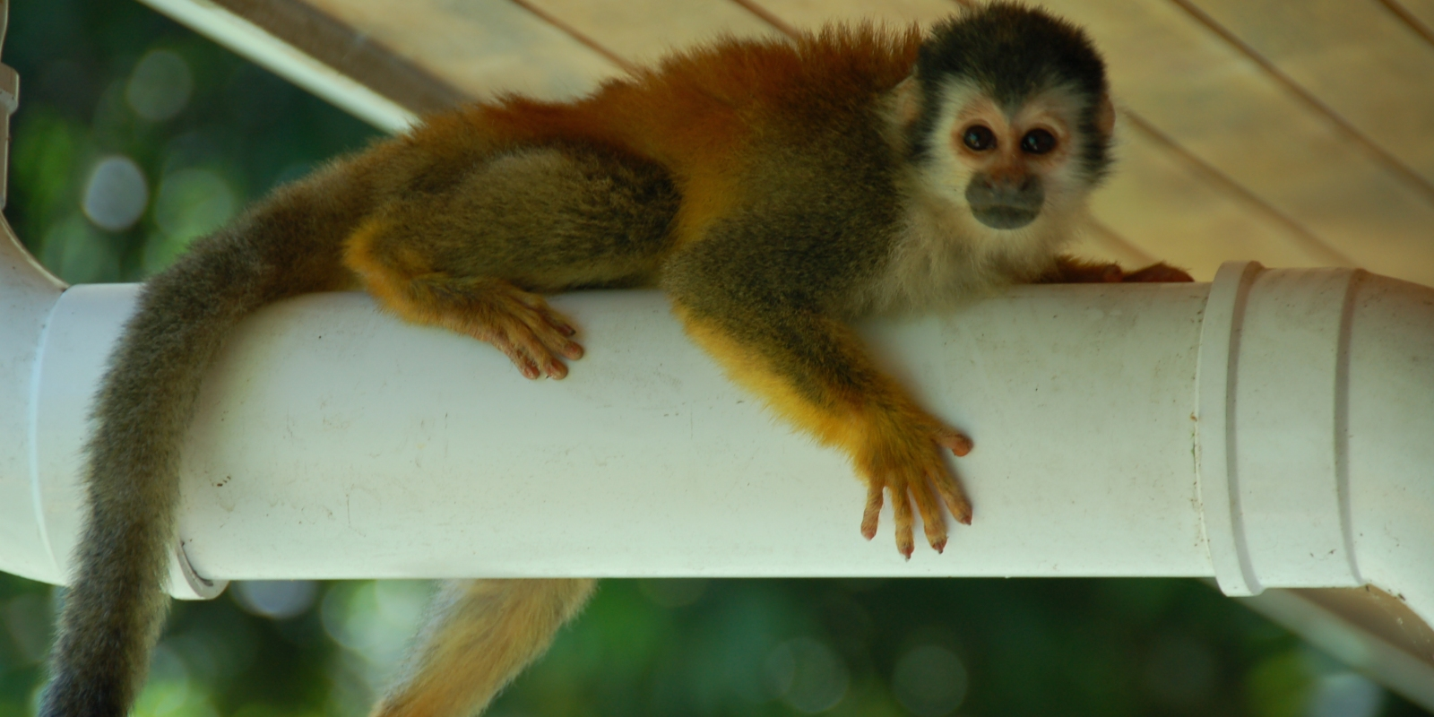 Monkey on a drain pipe in Costa Rica